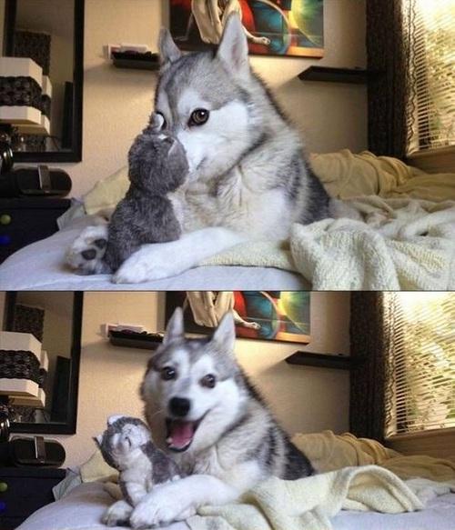 Dog Meme Husky Really High Dogs Memes
