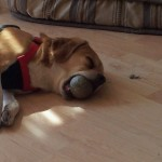Dog Falls Asleep Dreaming Of Catching Balls