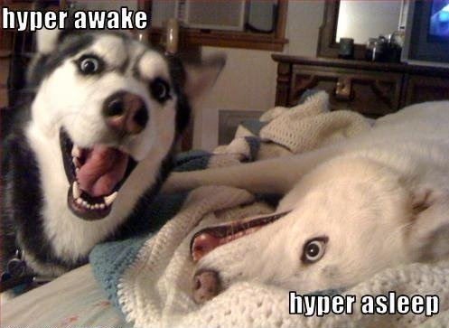 Excited Dog Meme Excited Husky Meme Overly