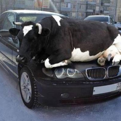 Silly Cow Thinks It S A Cat