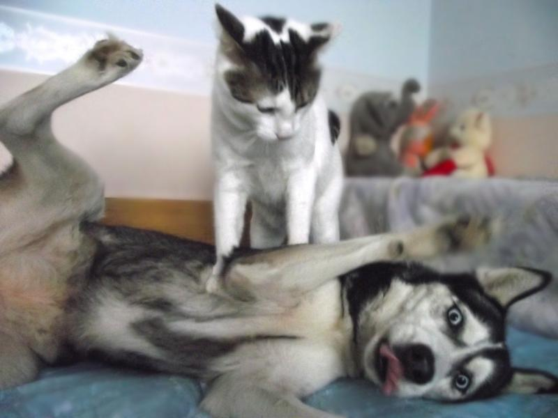Meme Funny Husky Dogs : Cat is done being a fun time partner for husky dog