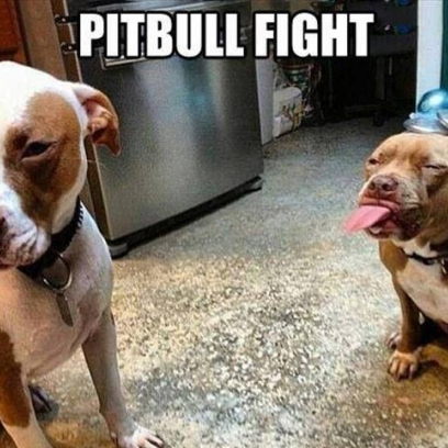 Pitbull Tongue Battle In The Kitchen For The Treats