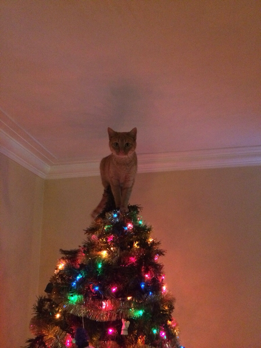 Cat has decided it will be the christmas tree star this year Christmas tree cat tower