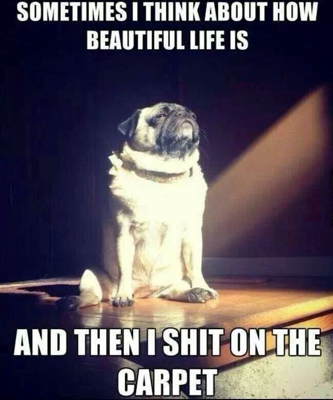 A-Beautiful-Pug-Life-Where-The-World-Is-Its-Toilet