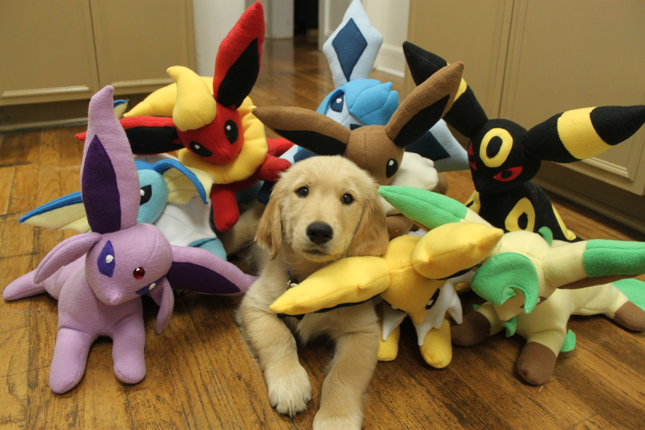 cute golden retriever hanging out with his pokemon eevee evolution