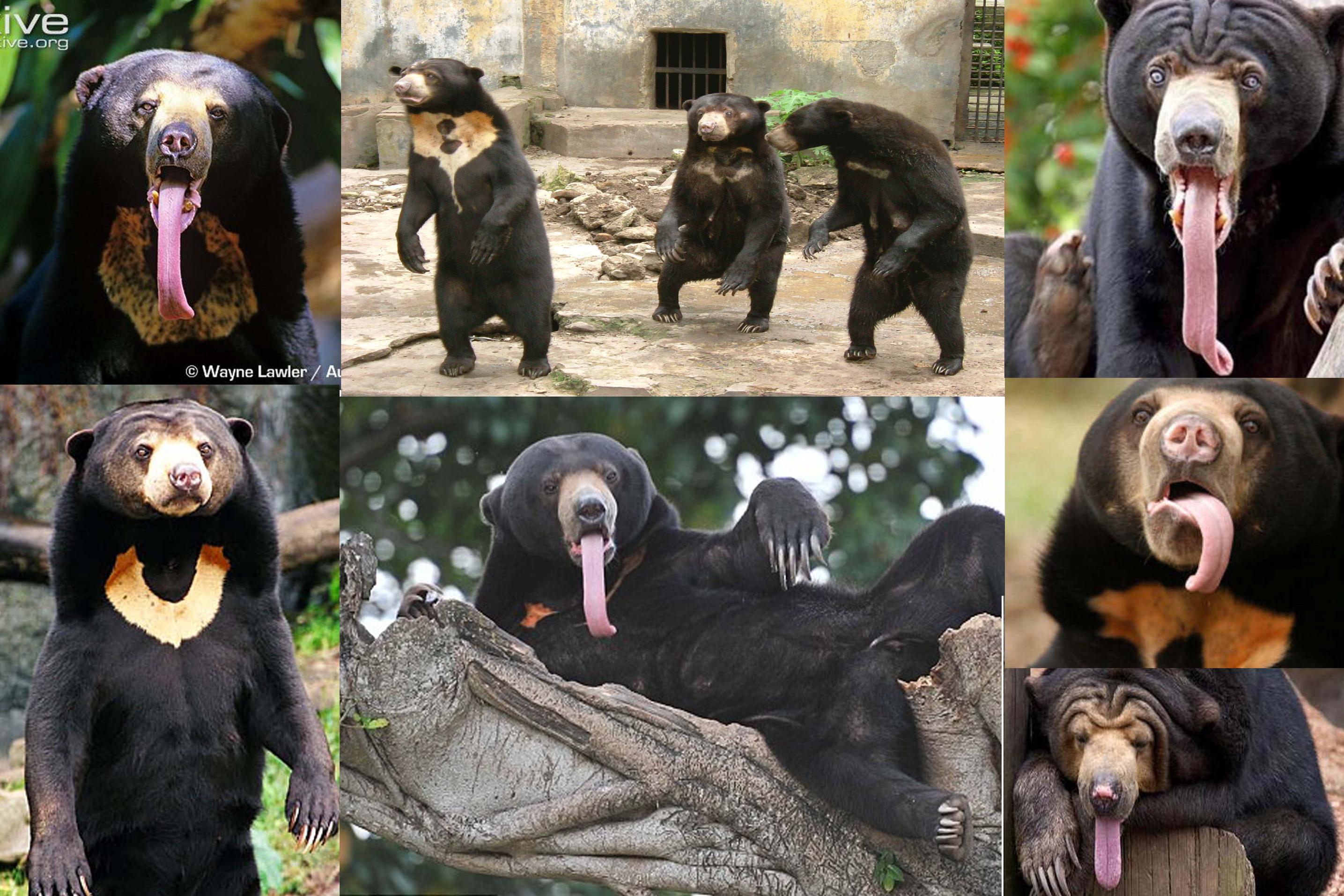 The Confession Bear Meme Is a Malayan Sun Bear