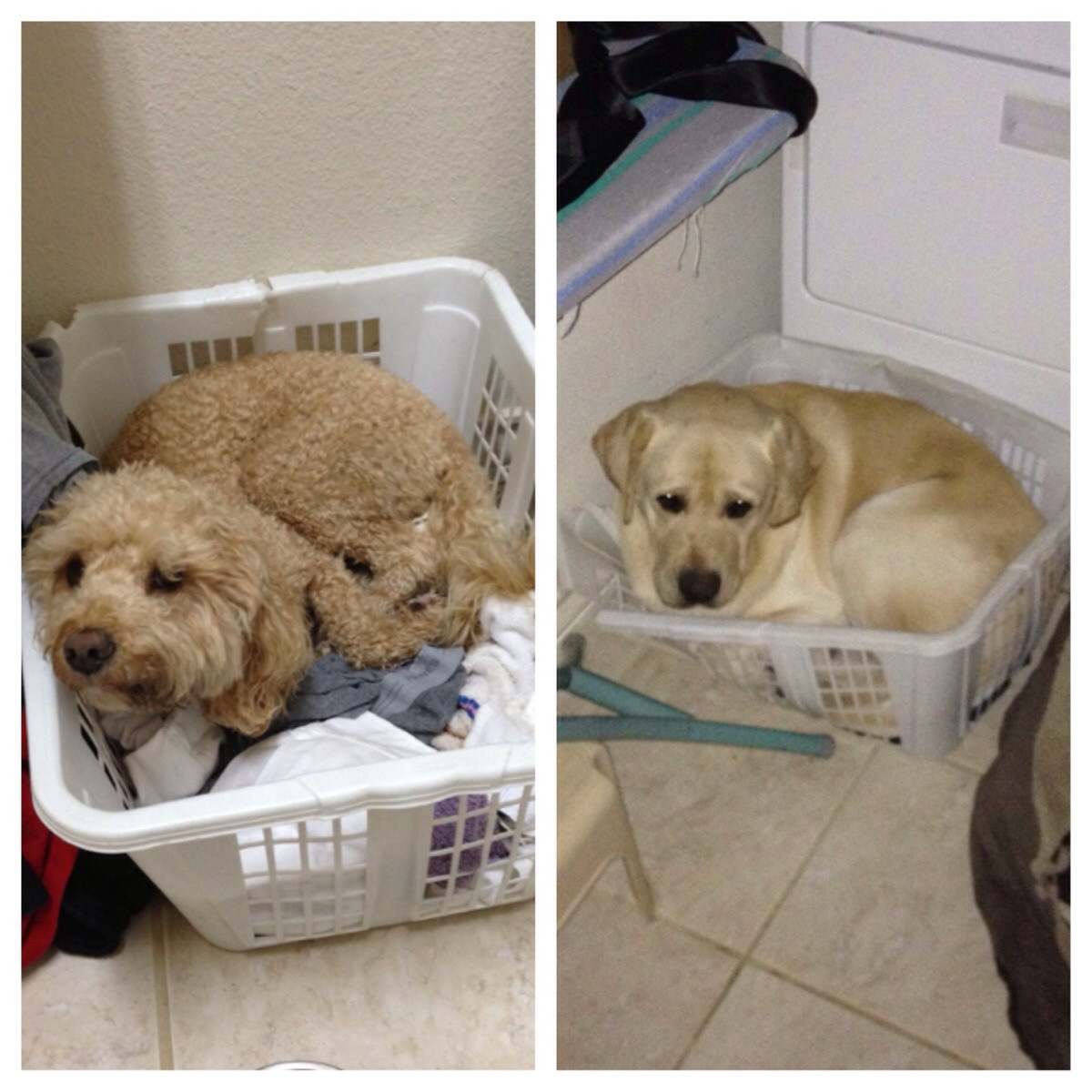 puppy is very sad he broke the laundry basket he deserves a bigger one